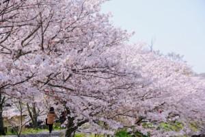井原堤の桜並木