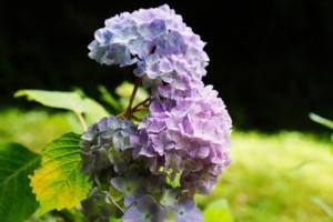 まきび公園 紫陽花