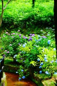 深山公園 紫陽花