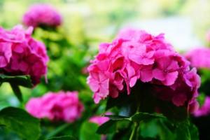 種松山公園西園地 紫陽花