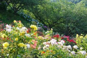 種松山公園西園地 バラ