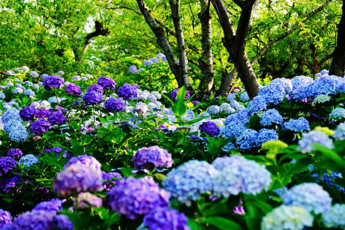 種松山公園 紫陽花