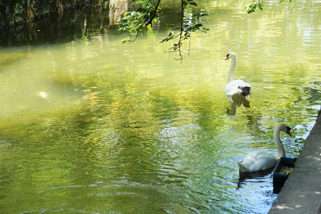 キニナッタ夏散策 白鳥